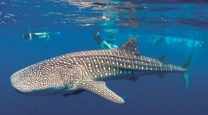 Whaleshark Southern Leyte